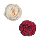 Dozen Red & White Garden Rose Wedding Pack
