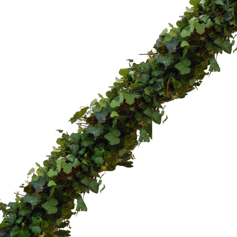 Ivy Green - Set of 6