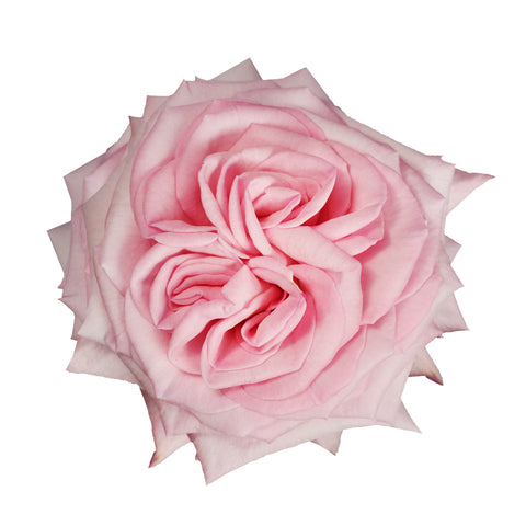 Garden Rose, Princess Charlene of Monaco - 36 Stems