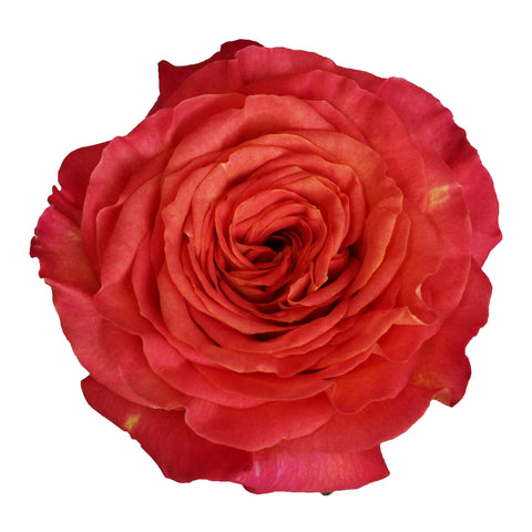 Dozen Garden Rose Red & White Wedding Pack