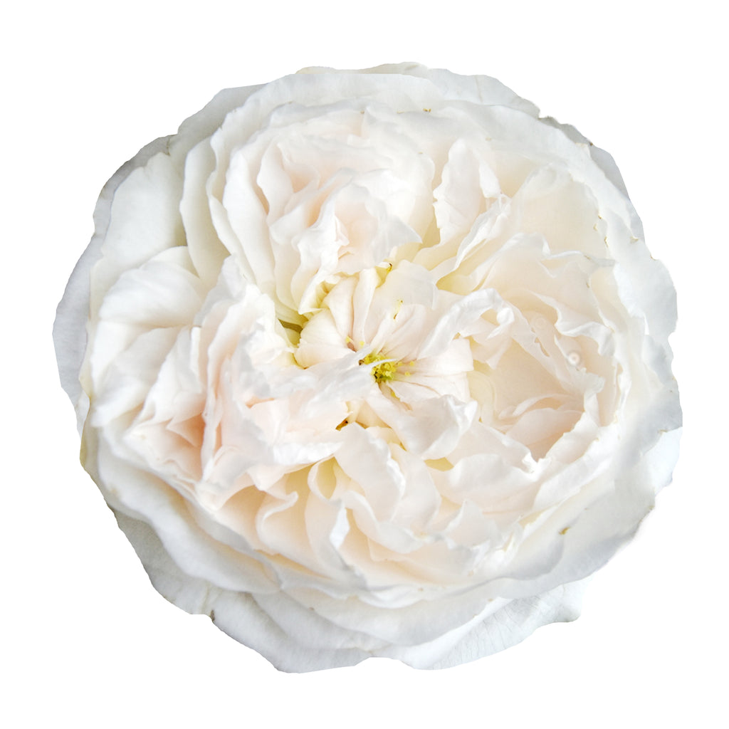 Purity- David Austin Garden Rose