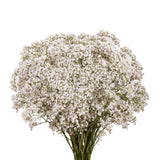 Gypsophilia, Galaxy