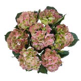 Hydrangeas Big Petal Antique