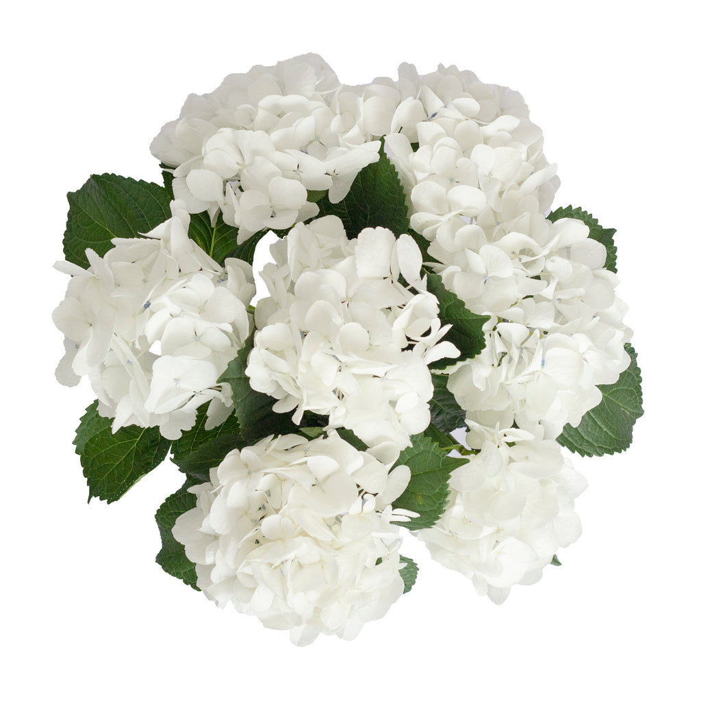 Hydrangeas Big Petal White