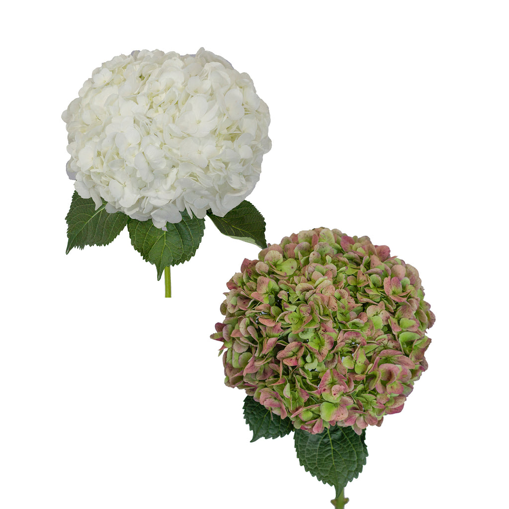 White and Antique Green Jumbo Hydrangeas  - 12 Stems