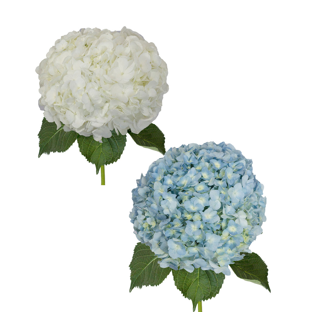 Hydrangeas Jumbo White and Blue - 12 Stems