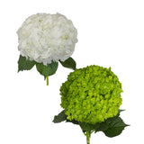 Hydrangeas White and Emerald Green - 30 Stems