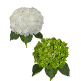 White and Emerald Variegated Hydrangeas - 30 Stems