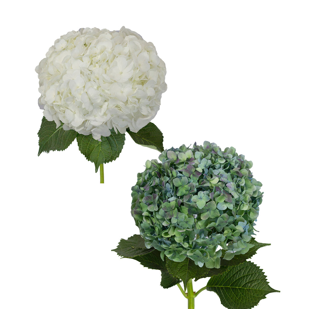 Hydrangeas Jumbo White and Hulk 12 - Stems