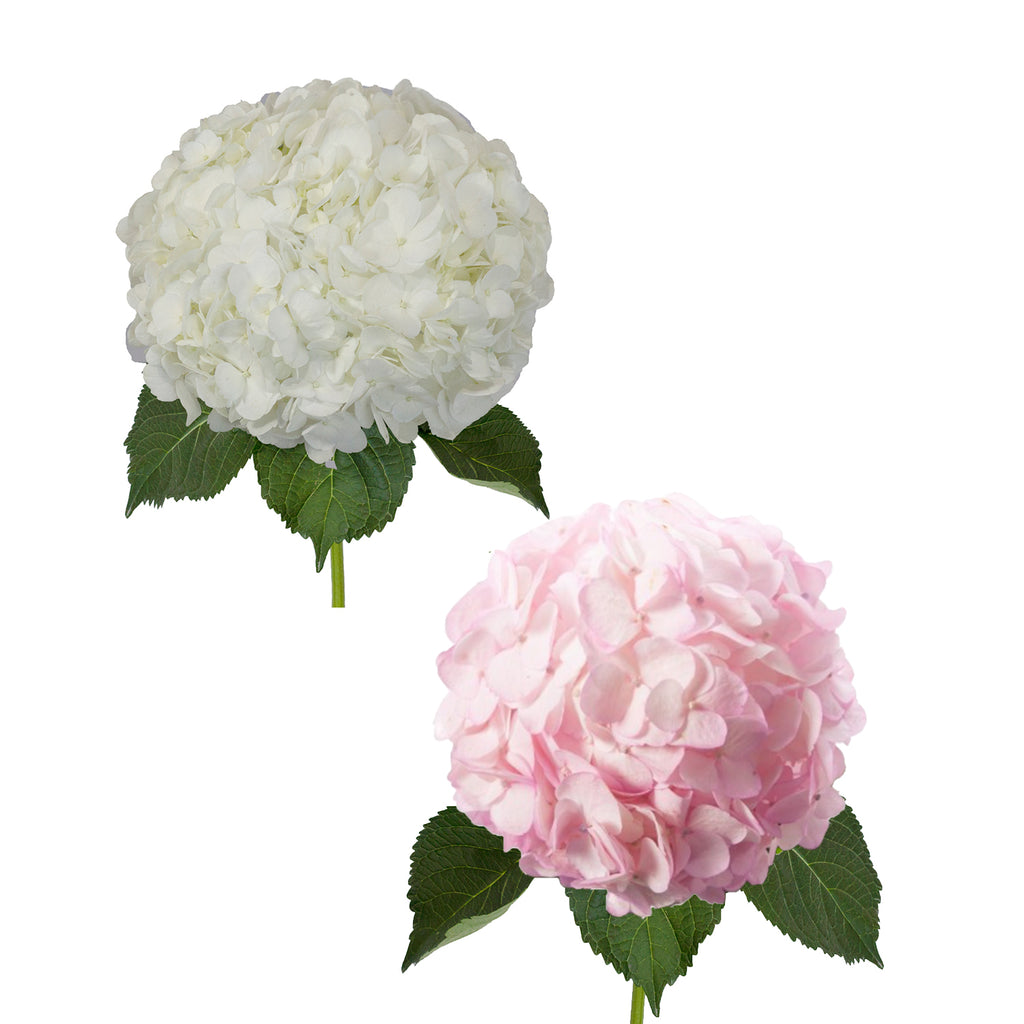 Hydrangeas White and Painted Pink - 30 Stems