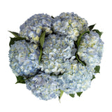 Blue Natural Hydrangeas