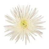 White Natural Anastasia Spider Mums