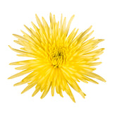 Yellow Natural Anastasia Spider Mums