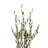 Olive Branch - 150 Stems