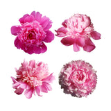Peonies Wedding Pack
