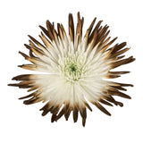 Brown & White Painted Bi-Colored Anastasia Spider Mums