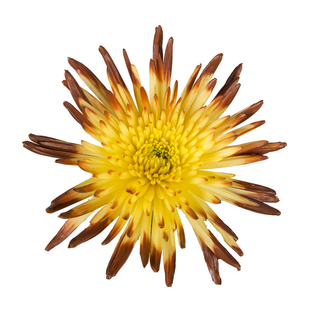 Brown & Yellow Painted Bi-Colored Anastasia Spider Mums