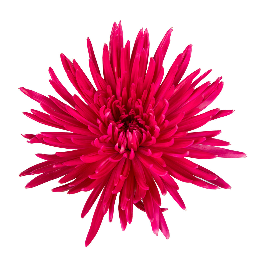 Hot Pink Painted Anastasia Spider Mums