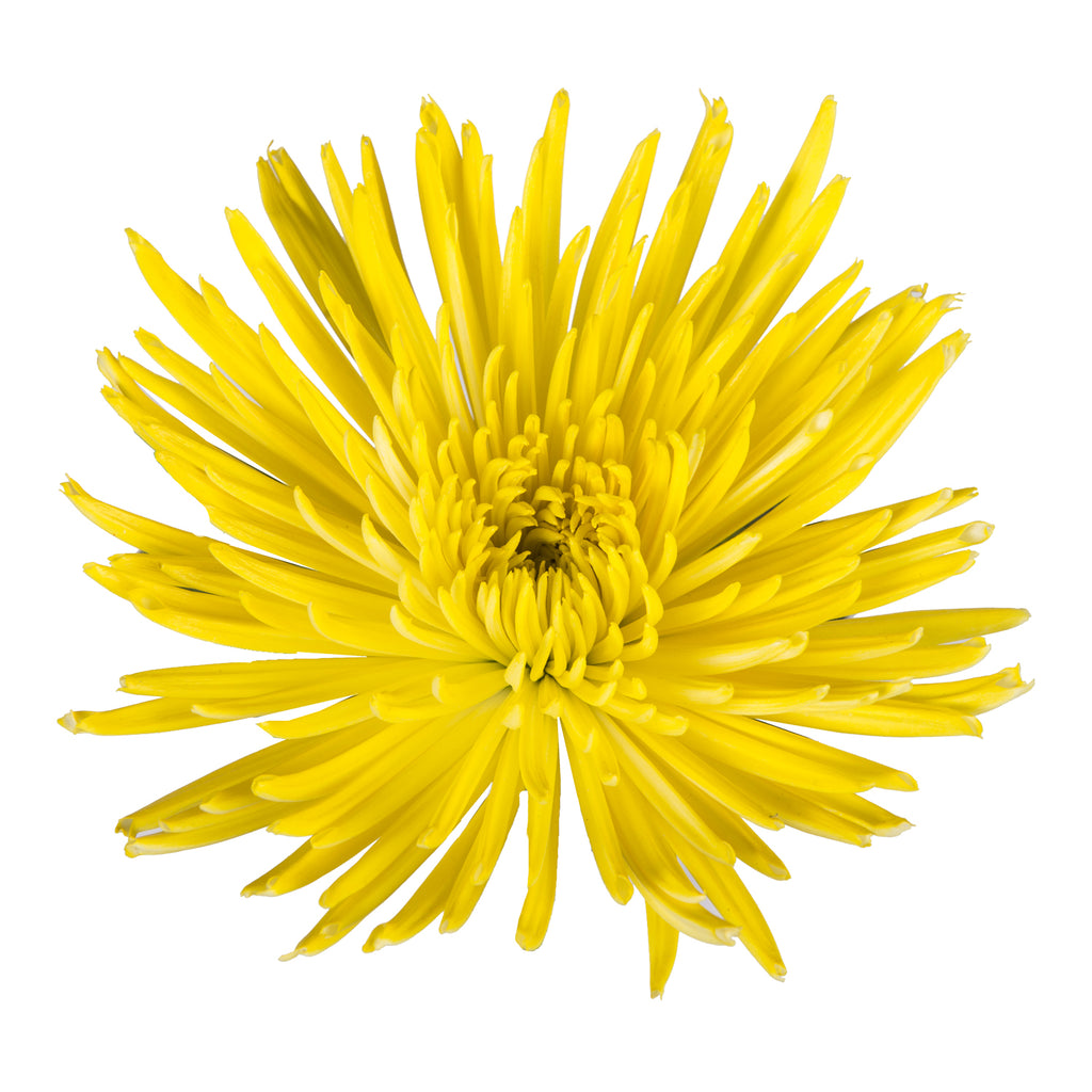Yellow Painted Anastasia Spider Mums