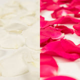 White and Hot Pink Rose Petals