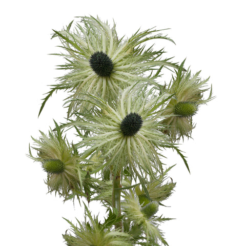 Lime Green Painted Pompom Daisies