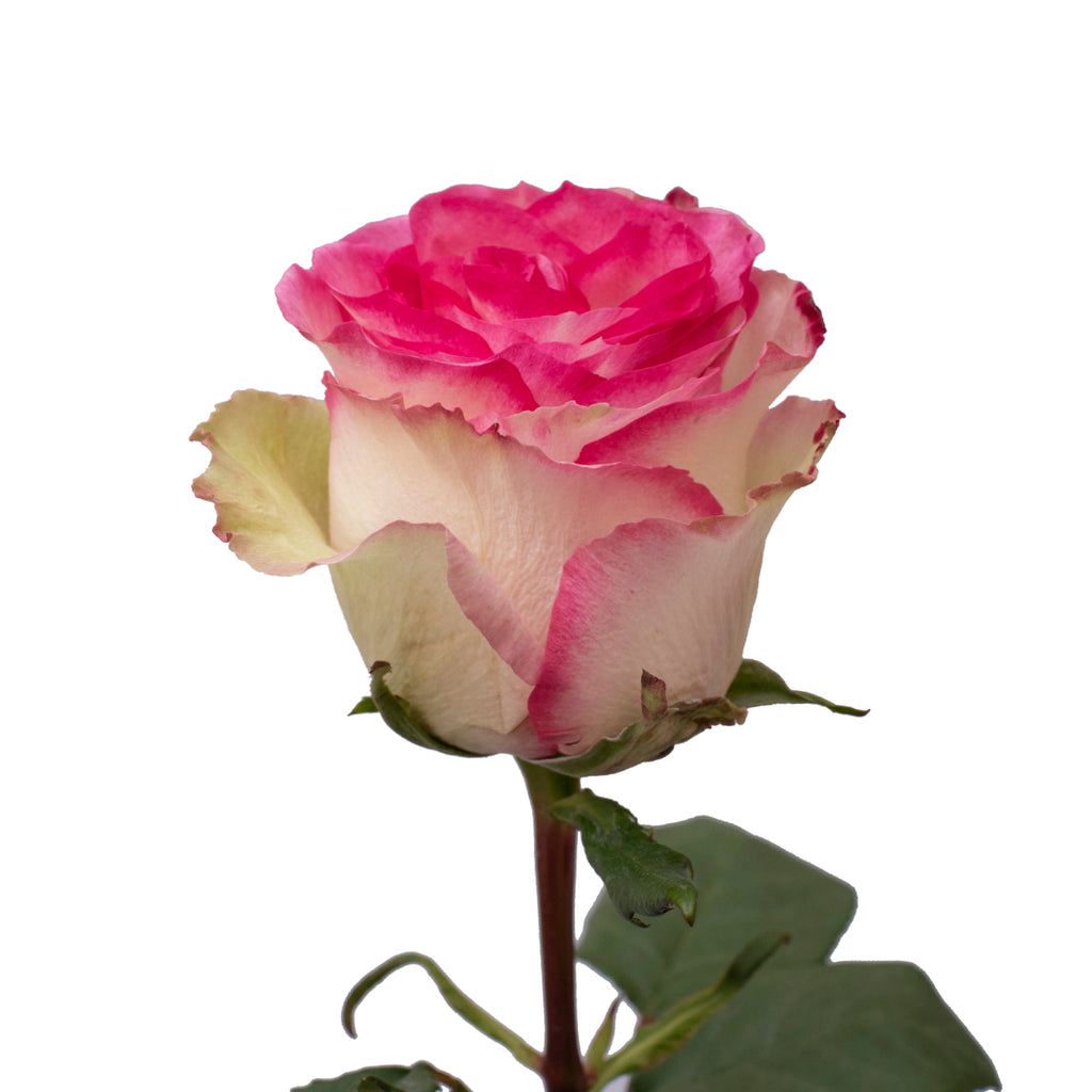Pink & White Novelty Roses