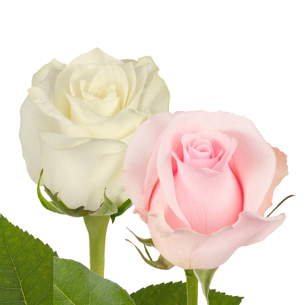 Pink & White Roses