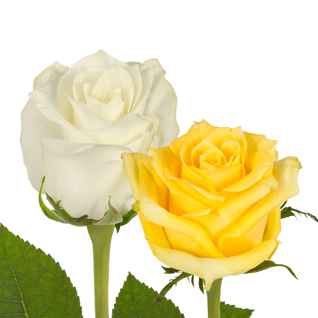 Yellow White Roses Premium Wholesale Flowers Free Shipping