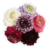 Scabiosa Assorted color