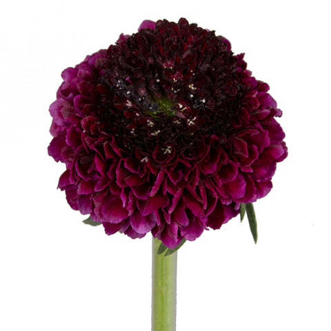 Scabiosa Blackberry