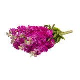 Stock, Dark Pink - 140 Stems
