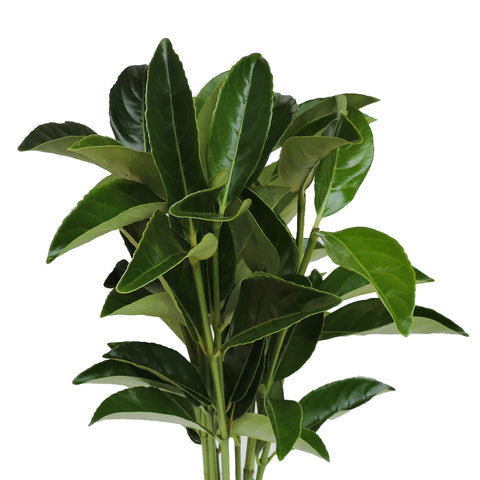 Black Painted Ruscus