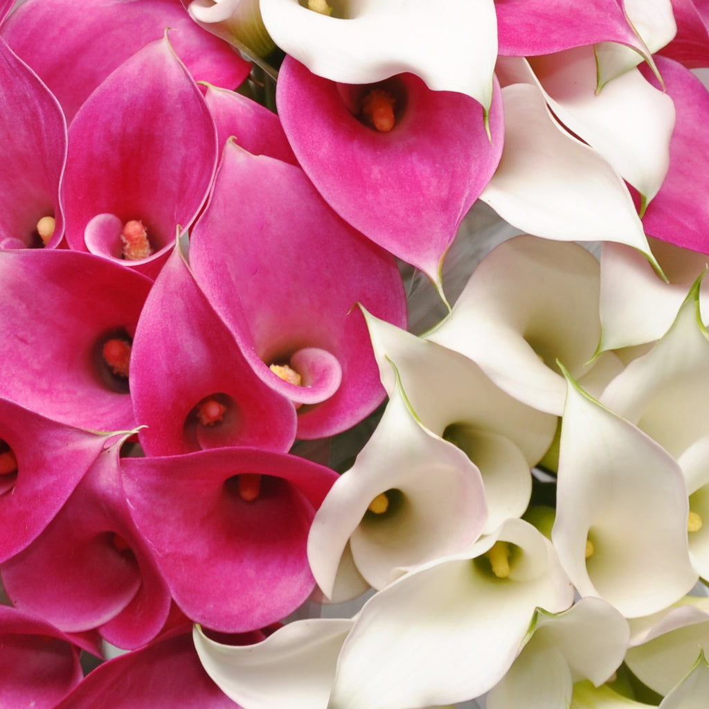 White & Hot Pink Mini Callas Combo