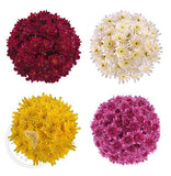 Assorted Natural Pompom Cushion Daisies Buy Bulk Wholesale Bouquets, Flowers & Greens