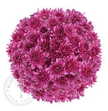 Pink Natural Pompom Cushion Daisies Buy Bulk Wholesale Bouquets, Flowers & Greens