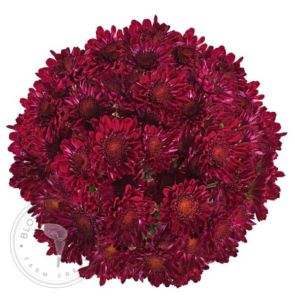 Purple Natural Pompom Cushion Daisies Buy Bulk Wholesale Bouquets, Flowers & Greens