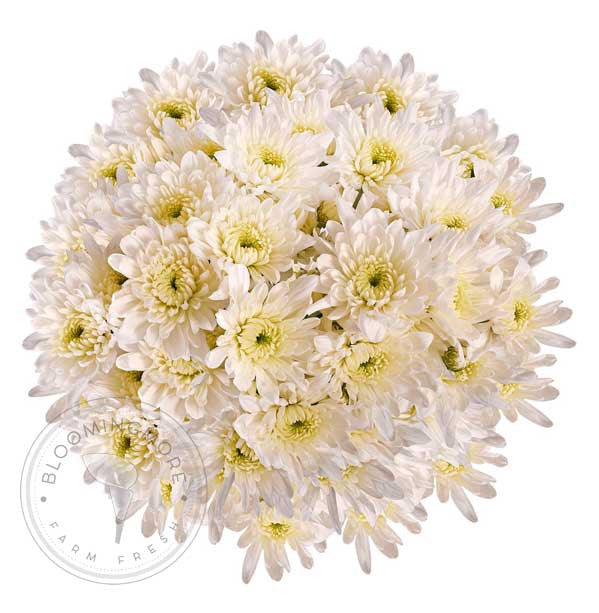 White Natural Pompom Cushion Daisies Buy Bulk Wholesale Bouquets, Flowers & Greens