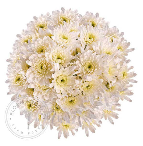 White Natural Anastasia Spider Flowers