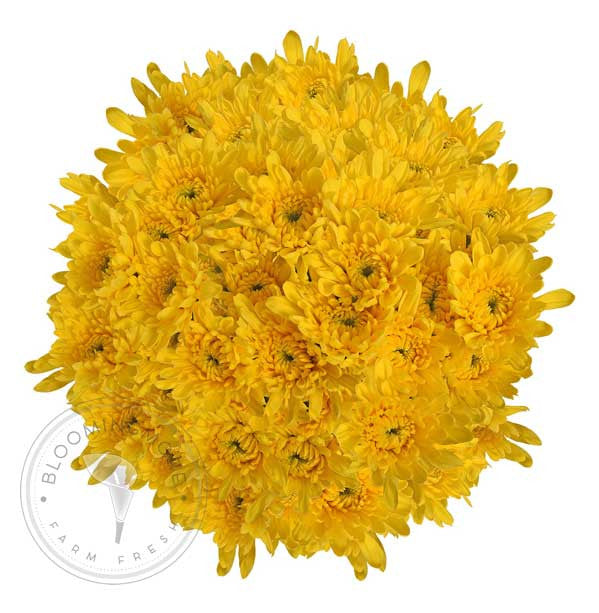 Yellow Natural Pompom Cushion Daisies Buy Bulk Wholesale Bouquets, Flowers & Greens