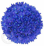Dark Blue Painted Pompom Cushion Daisies Buy Bulk Wholesale Bouquets, Flowers & Greens