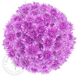 Lavender Painted Pompom Cushion Daisies Buy Bulk Wholesale Bouquets, Flowers & Greens