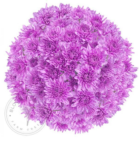 Light Blue Tinted Pompom Daisy Mums