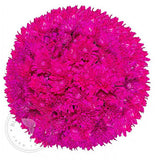 Hot Pink Painted Pompom Cushion Daisies Buy Bulk Wholesale Bouquets, Flowers & Greens
