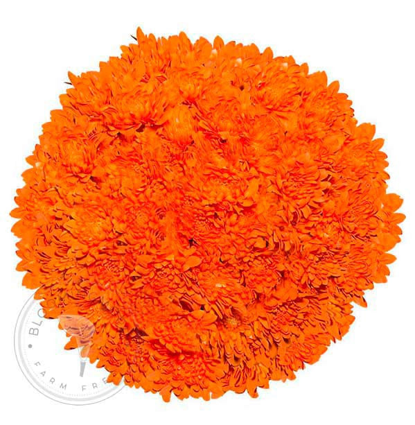 Orange Painted Pompom Cushion Daisies Buy Bulk Wholesale Bouquets, Flowers & Greens