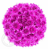 Pink Painted Pompom Cushion Daisies Buy Bulk Wholesale Bouquets, Flowers & Greens