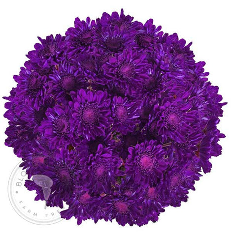 Purple Painted Anastasia Spider Mums