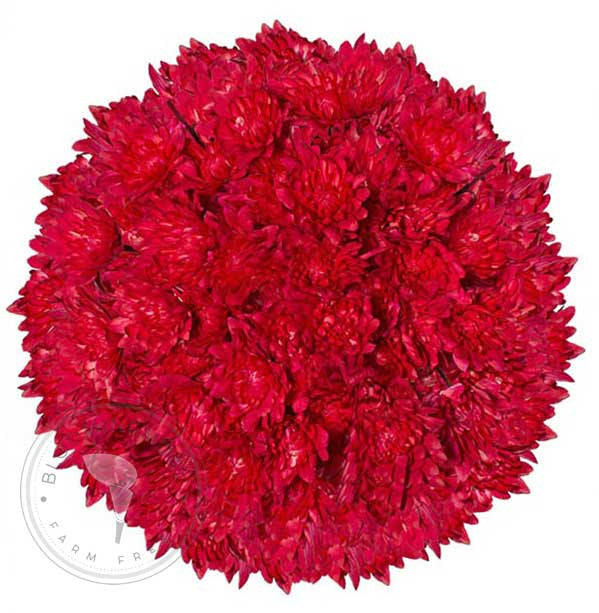 Red Painted Pompom Cushion Daisies Buy Bulk Wholesale Bouquets, Flowers & Greens