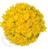 Yellow Painted Pompom Cushion Daisies Buy Bulk Wholesale Bouquets, Flowers & Greens