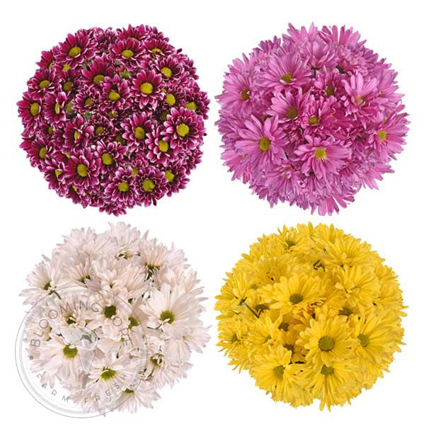 Color Daisies: Assorted Natural Colors