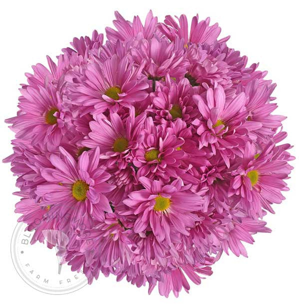 Pin Natural Pompom Daisy Buy Bulk Wholesale Bouquets, Flowers & Greens